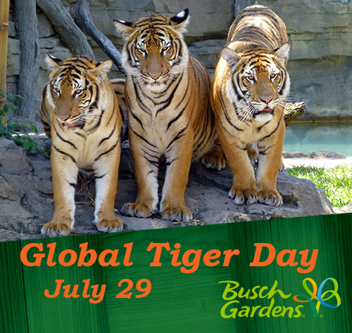 Busch Gardens Invites Guests to Learn More About Tigers